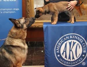 ht_american_kennel_club_german_shepard_pupp_dog_ss_thg-130130_ssh