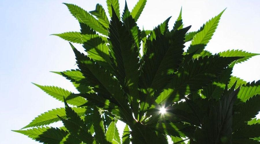 Cannabis lead alert: mCigs just scored CMO
