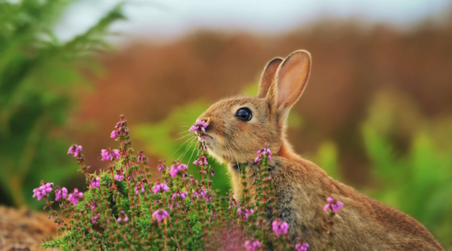 A rabbit will soon be sniffing for an agency