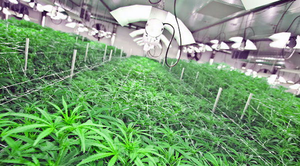 Cannabis Client: Buy the stock or pitch the account?