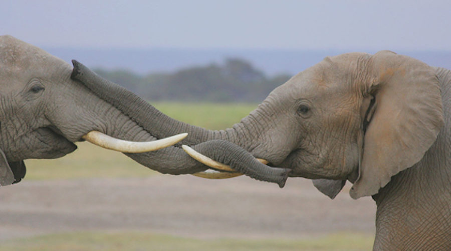 Filmmaker Seeks PR to Protect Africa's Elephants